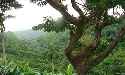 Återväxt skog på Kuba