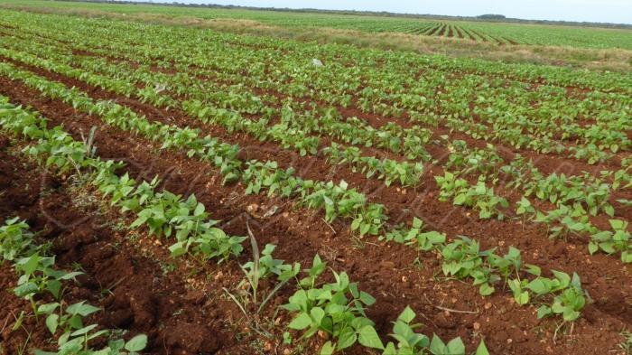 Fält på Kuba